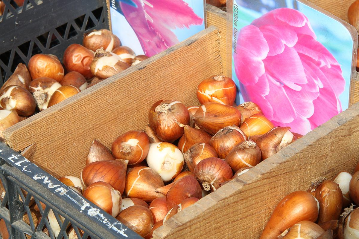 Хранение луковиц тюльпанов зимой: как и где хранить