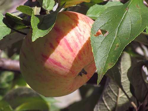Сорт яблок коричное полосатое: описание, отзыв, фото