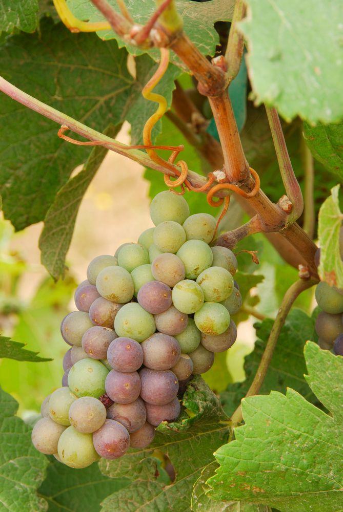 Вино пино гриджио (pinot grigio) итальянский напиток французского происхождения