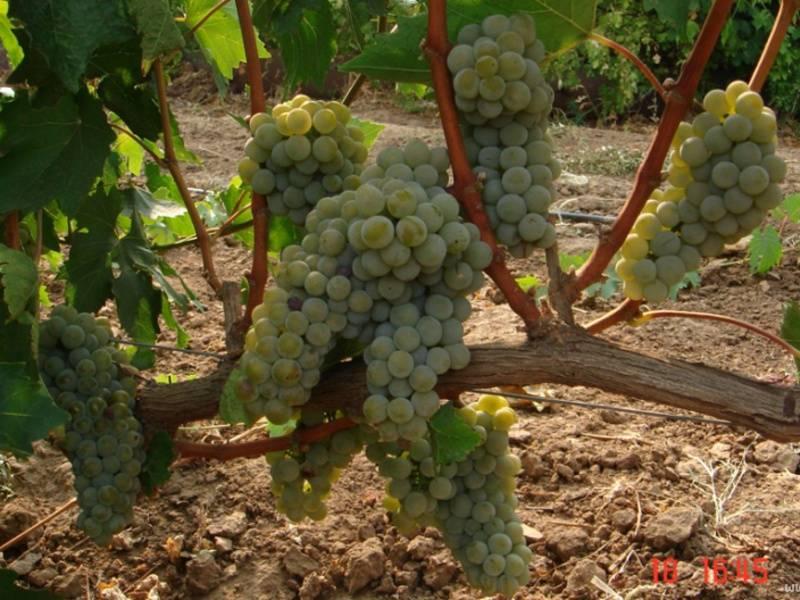 Виноград бианка описание сорта фото отзывы видео !