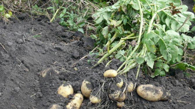 Сорт картофеля импала: описание и основные характеристики, особенности выращивания и ухода, урожайность, болезни и вредители, фото культуры.