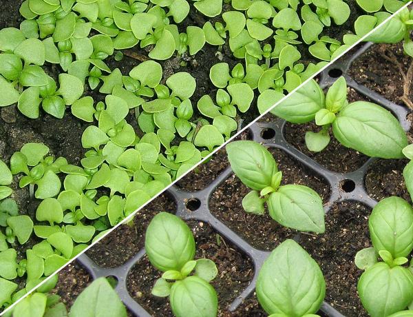 Выращивание базилика в открытом грунте и правильный уход за ним