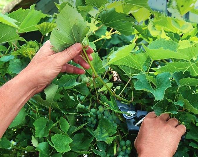 Полив винограда весной и подкормка, как часто поливать, чем удобрять и как сделать это правильно, каких ошибок избегать