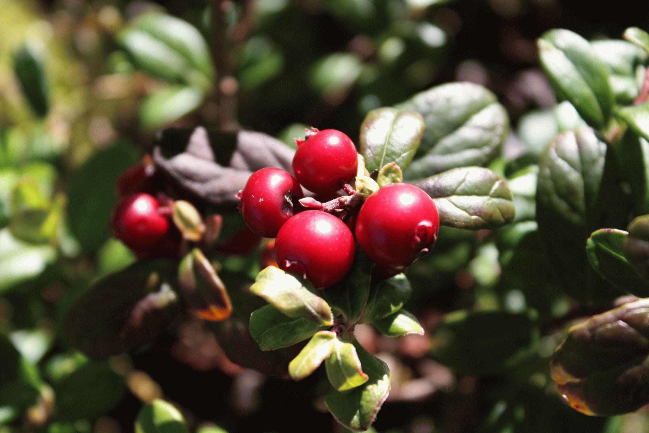 Брусника ягоды: полезные свойства и противопоказания, как употреблять в лечебных целях