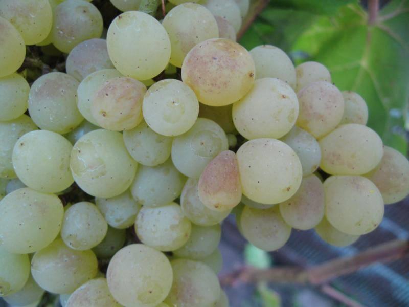 Мускат - 10 столовых сорта винограда, с мускатным вкусом, описание