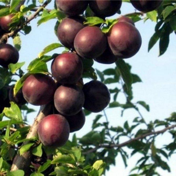 Абрикос черный: 6 лучших сортов, отзывы садоводов и 5 правил ухода