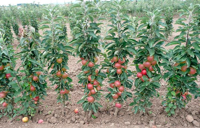 Все о правильной посадке саженца персика осенью и весной