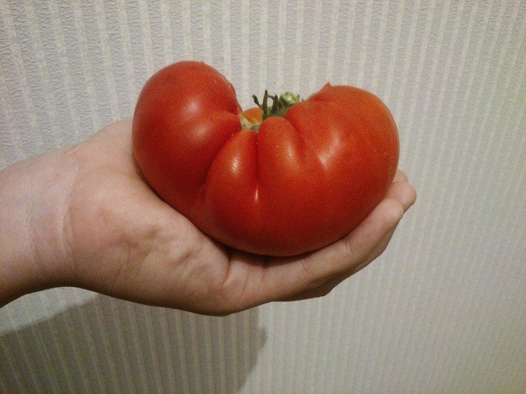 Томат хлебосольный: описание и характеристика сорта, фото, отзывы, урожайность, выращивание, видео