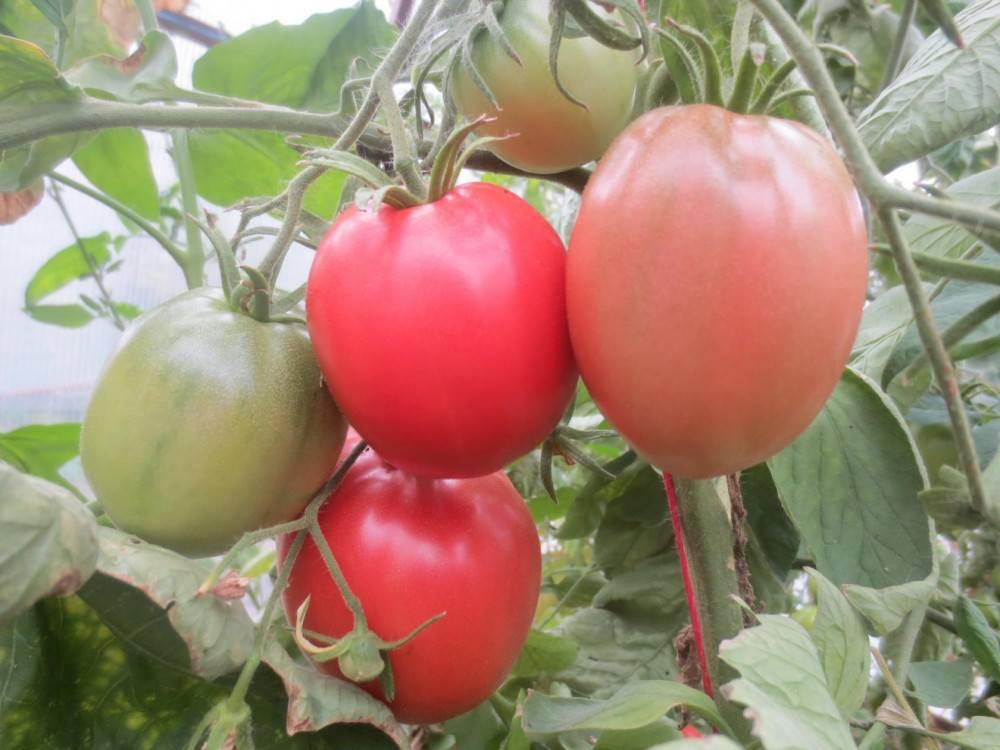 Томат исполин малиновый: описание сорта, достоинства и недостатки, выращивание русский фермер