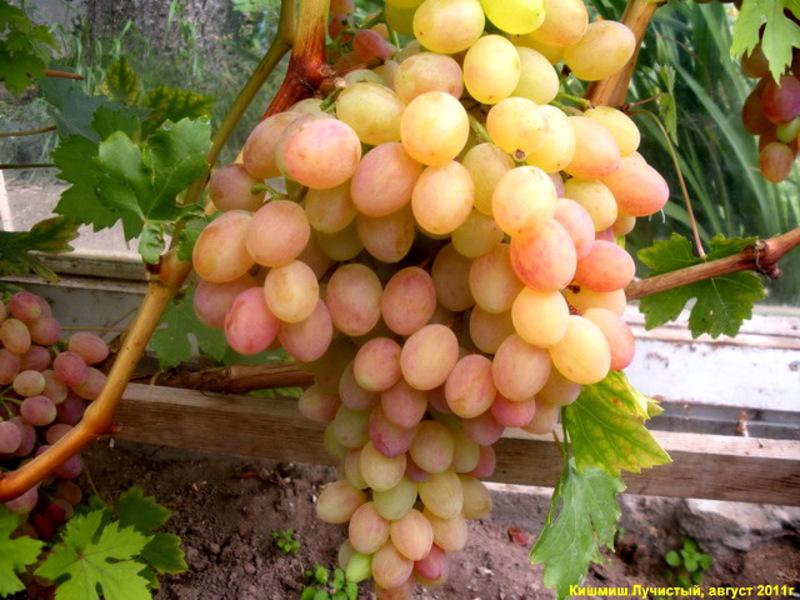 """Виноград """"кишмиш лучистый"""": описание сорта, фото, отзывы"""