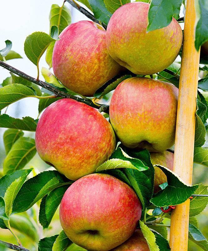 Яблоня останкино: описание, выращивание и уход, фото и отзывы