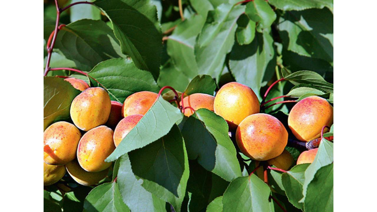 Абрикос лель: преимущества сорта и уход за деревом
