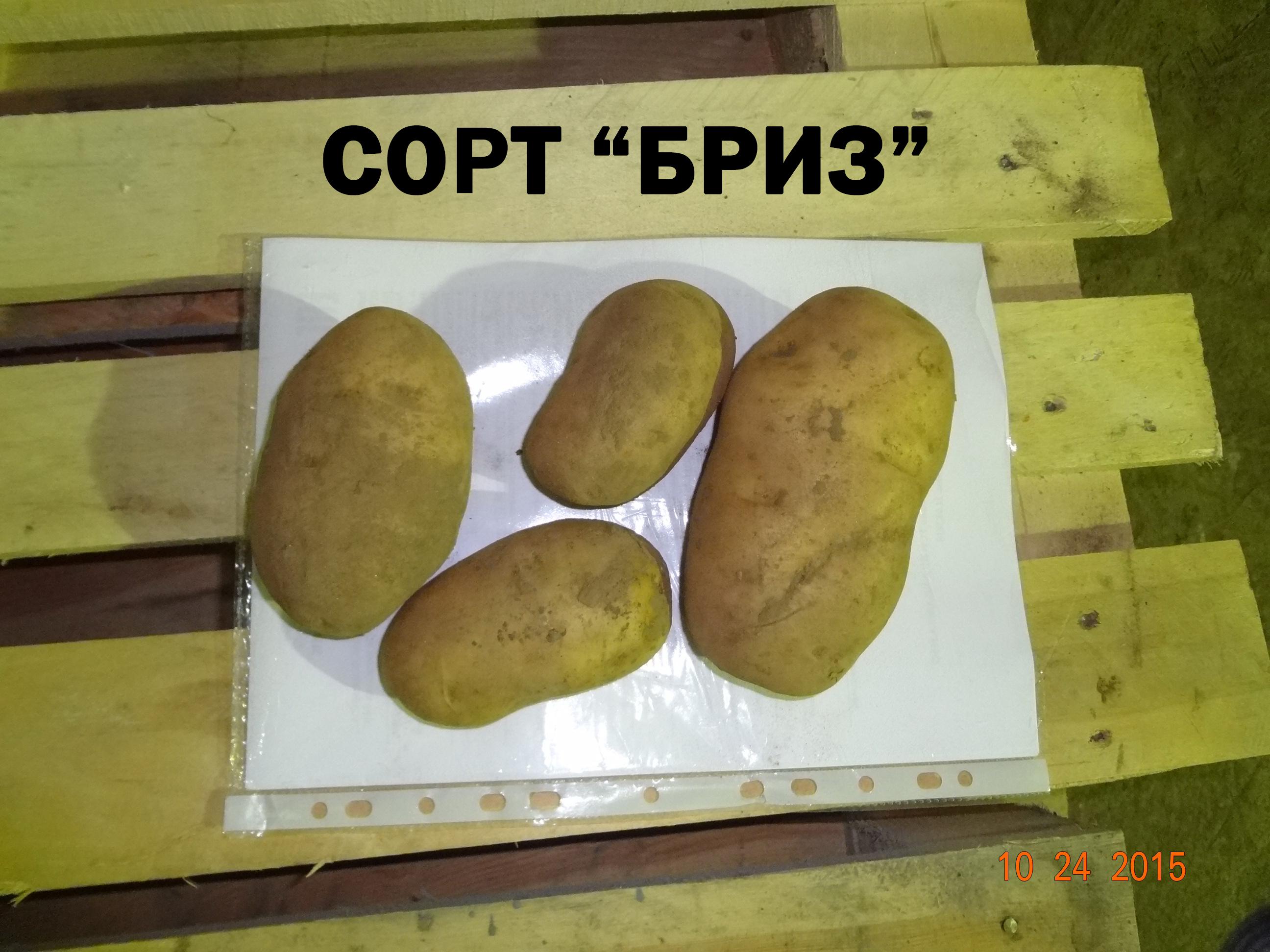 """Картофель """"бриз"""": описание сорта, характеристика, фото, отзывы"""