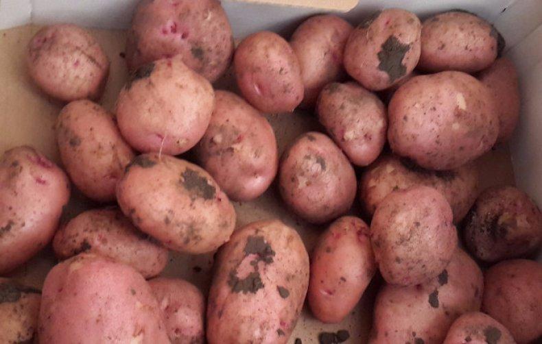 """Картофель раннее утро - описание сорта, фото, отзывы, посадка и уход - журнал """"совхозик"""""""