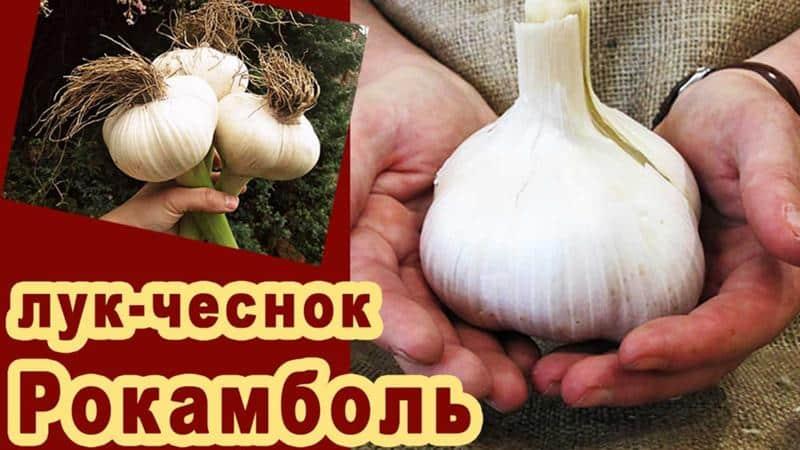 Лук-чеснок рокамболь: все о нем, описание сорта, полезные свойства, правила выращивания