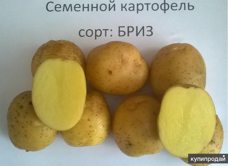 Картофель бриз: характеристика и описание сорта, фото, отзывы