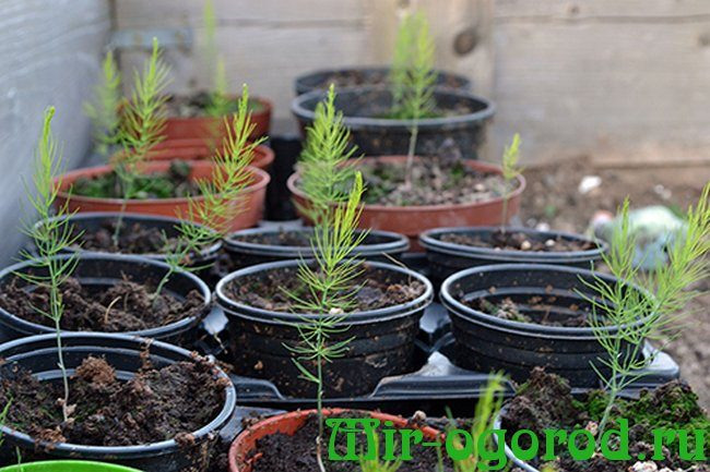 Спаржа - выращивание и уход, посадка в открытом грунте