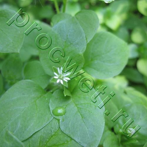 Звездчатка средняя (мокрица, мокричник): полезные, лечебные свойства, описание дубравной, для щитовидной железы, фото