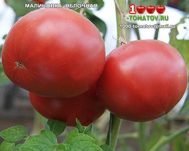 Сорт томата малиновка