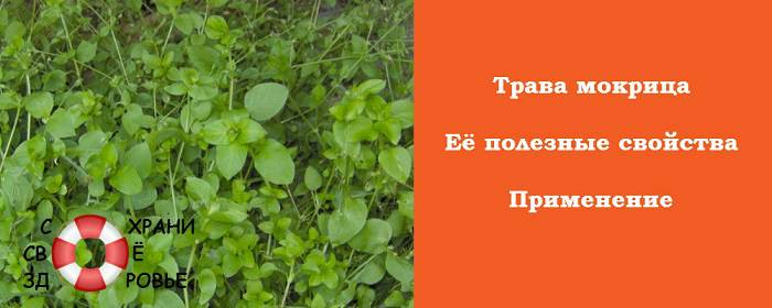 Трава мокрица (звездчатка средняя), ее полезные свойства и противопоказания