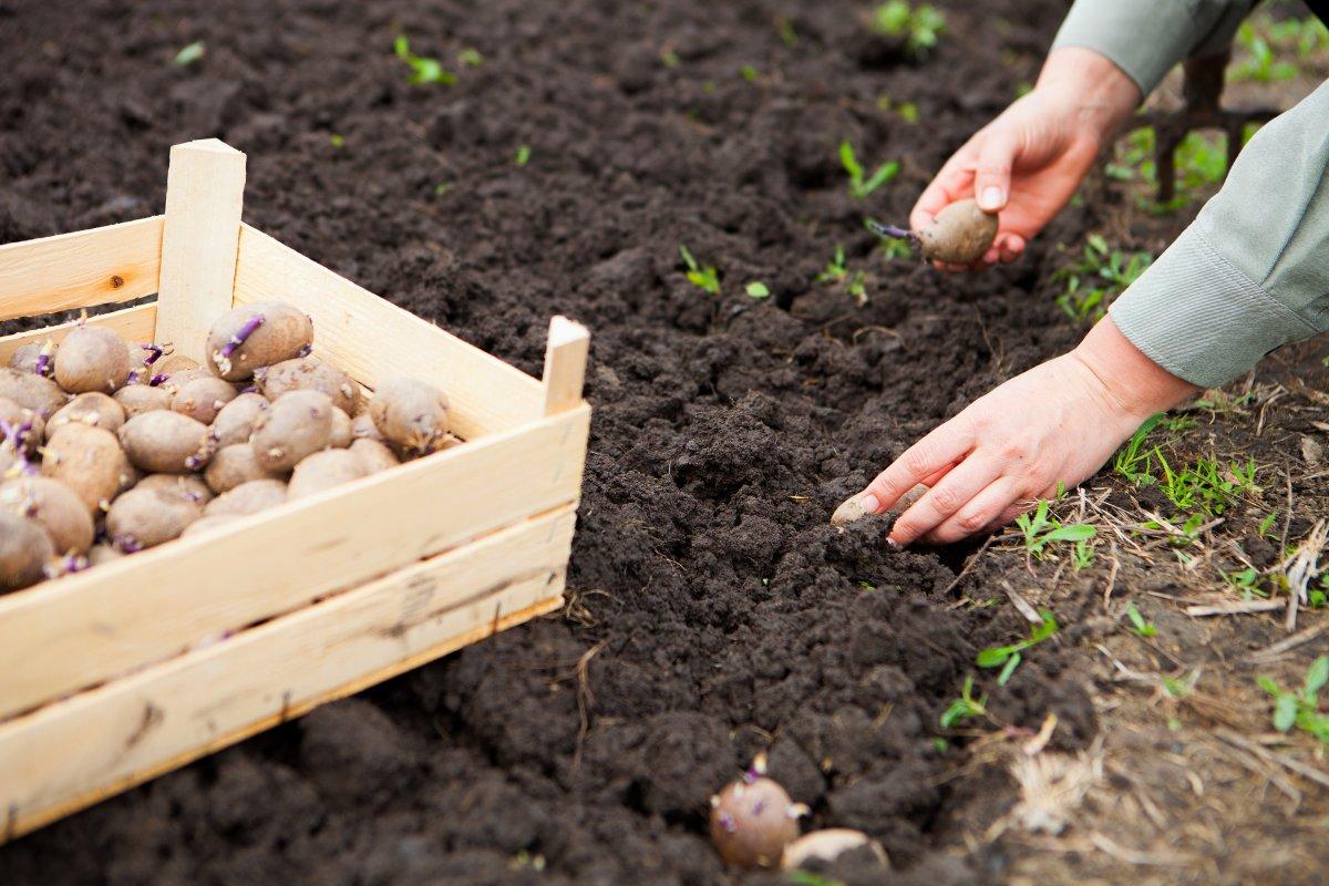 Ранний картофель под плёнкой: секреты выращивания