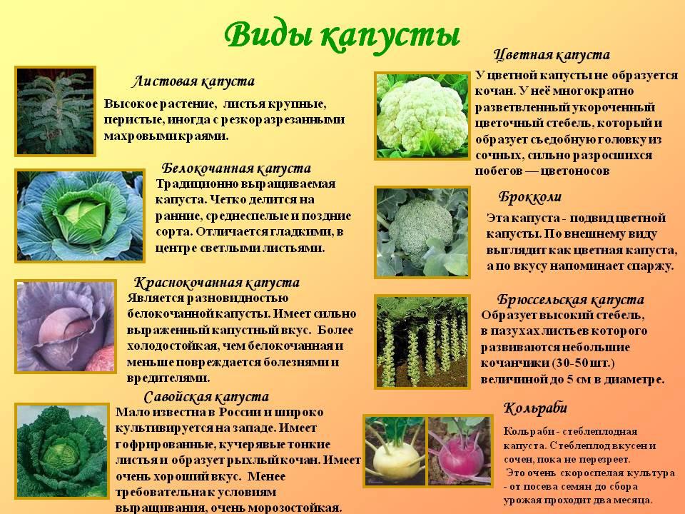 Описания и характеристики лучших сортов капусты, все виды с названиями
