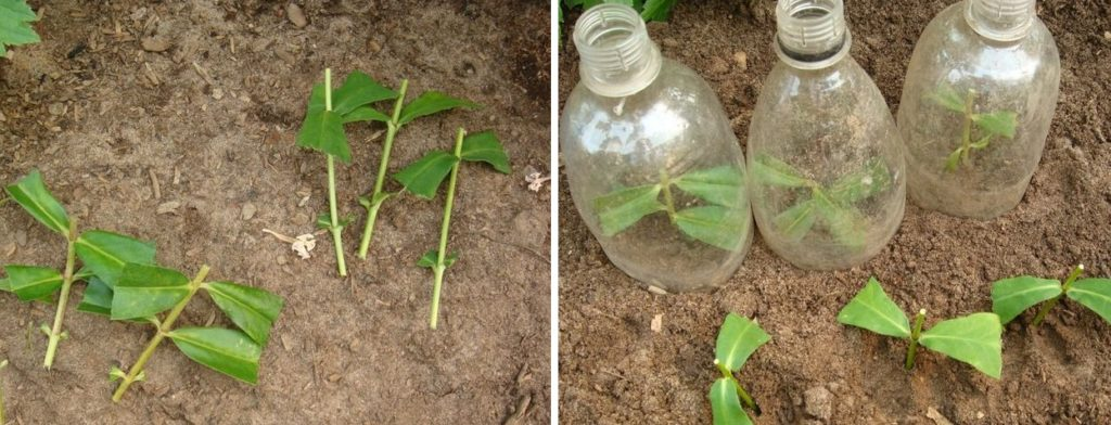 Мята: фото растения, посадка и уход в открытом грунте