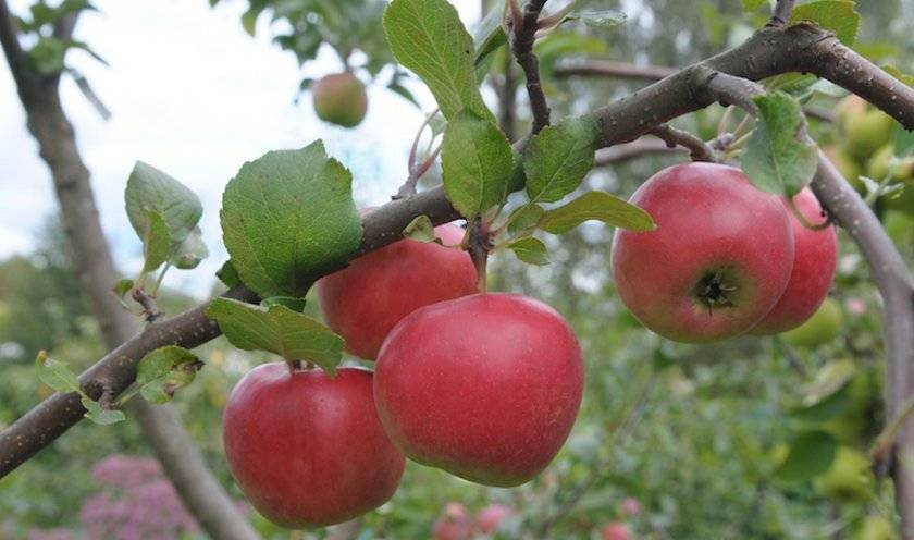 Описание и правила выращивания яблони сорта Благая весть