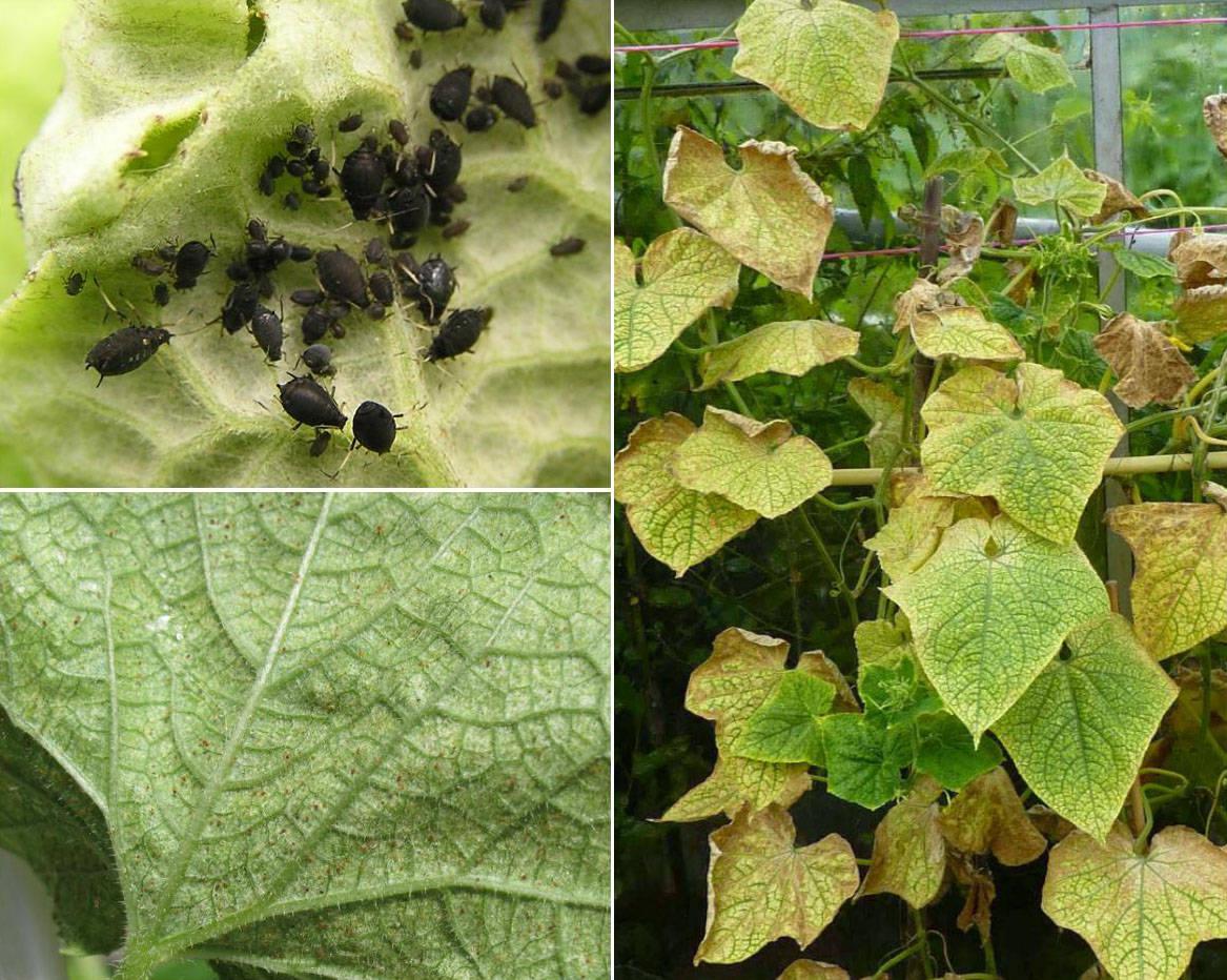 У огурцов желтеют и сохнут листья, завязь – что делать, как лечить?