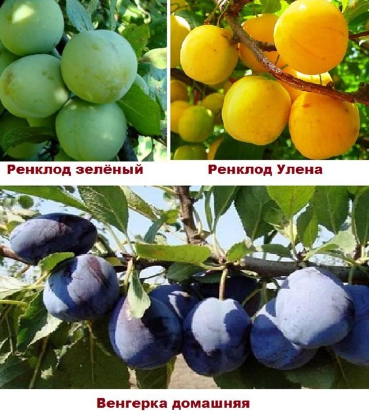 Описание разновидностей сливы сорта Ренклод и технология выращивания