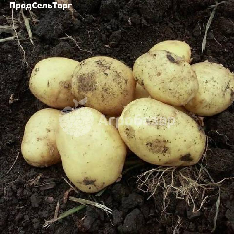 Сорт картофеля импала: описание, посадка и уход русский фермер