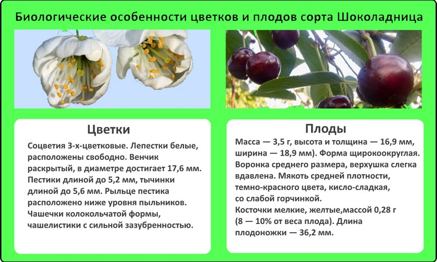 Вишня молодежная: отзывы, фото, описание сорта, посадка и уход, выращивание, обрезка, подкормка, опылители, вкусовые качества