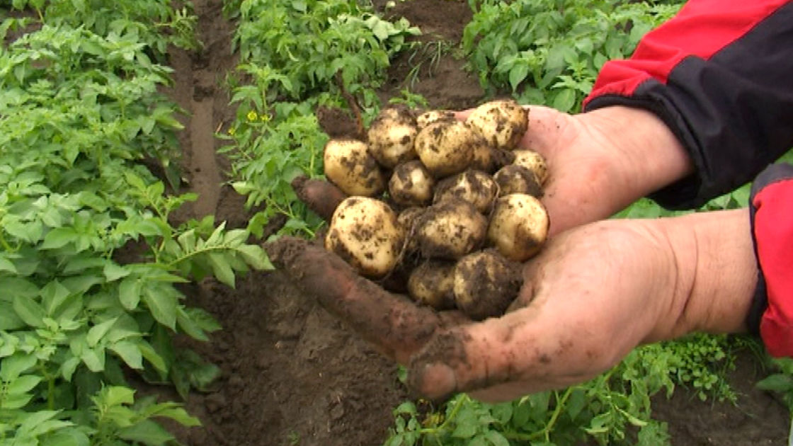 Картофель и дожди: особенности посадки, выращивания и сбора