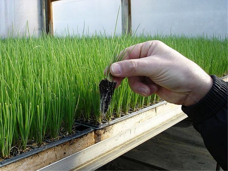 Неприхотливый житель дачных грядок. выращивание лука-порея русский размер из семян и рассады