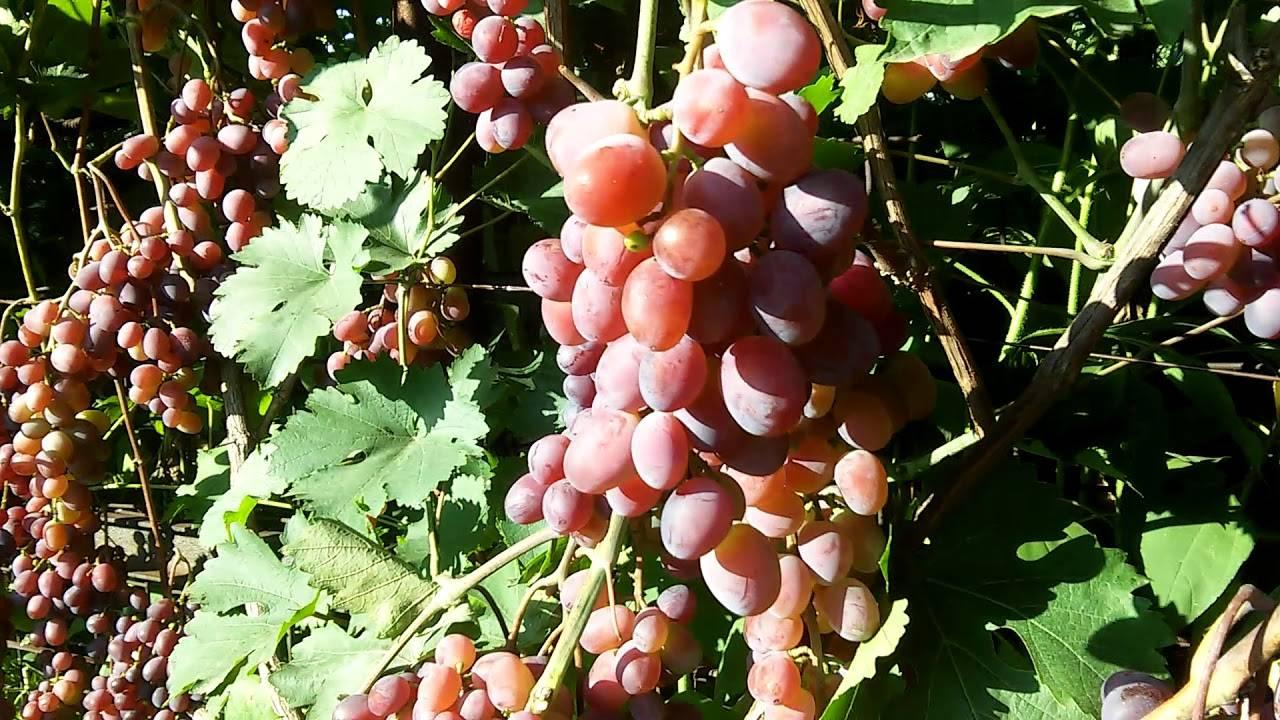 Описание винограда сорта виктория, особенности посадки и культивирования