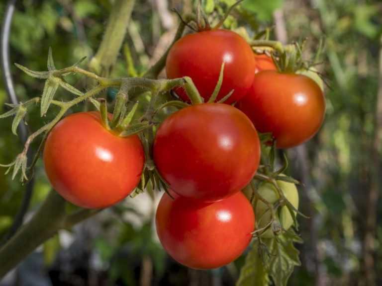 Сорта томатов для самарской области: обзор лучших с фото