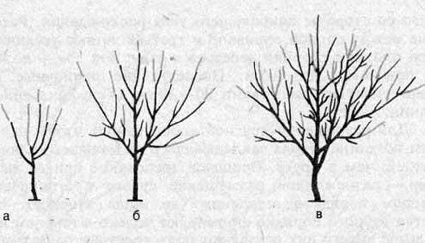 Обрезка грецкого ореха: можно ли, формирование кроны летом и осенью обрезка грецкого ореха: можно ли, формирование кроны летом и осенью