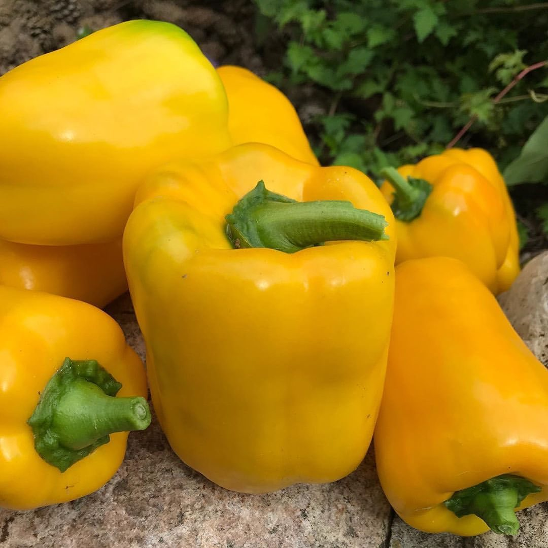 Сорта перца – топ-30 лучших урожайных сортов сладкого перца: описание, фото – 4 сезона огородника