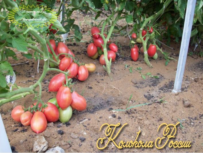 Томат колокола россии - описание сорта, фото, урожайность и отзывы садоводов