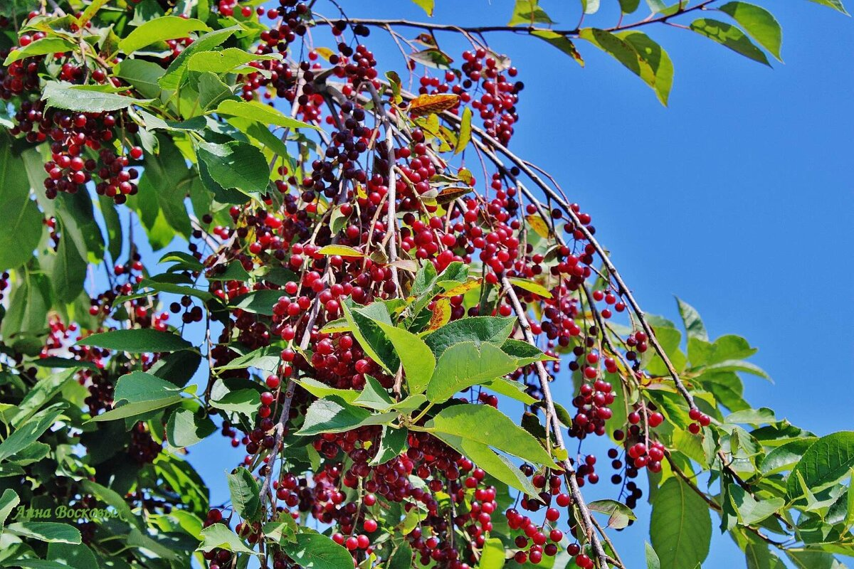 Церападус и падоцерус — гибрид черёмухи и вишни: полезные свойства, отличительные особенности