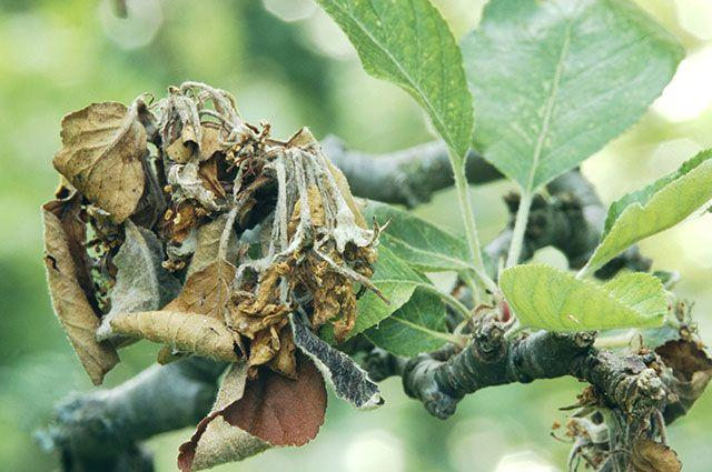 Лечение чёрного рака у яблонь, бактериальный рак и сорта, устойчивые к заболеванию