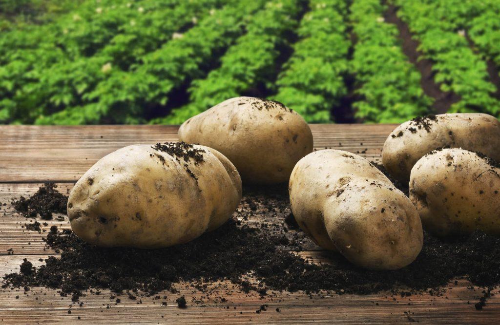 Картофель елизавета — описание сорта, фото, отзывы, посадка и уход
