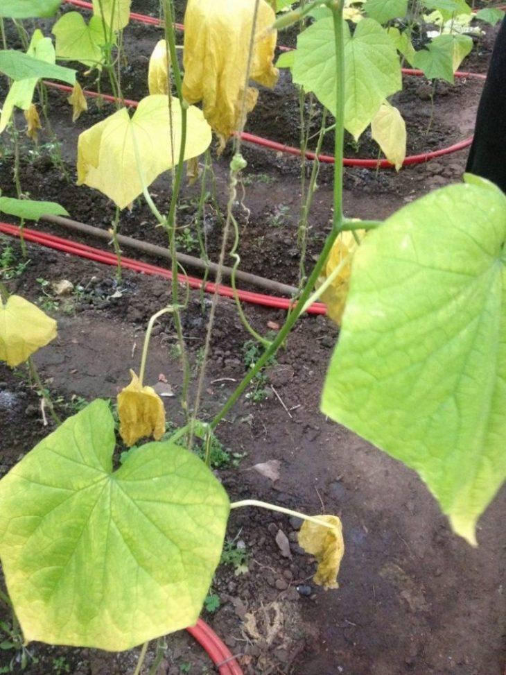 Желтеют листья огурцов: почему это происходит, как с этим бороться и предотвратить проблему, спасаем урожай в теплице и открытом грунте