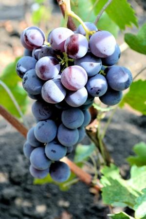 Виноград кардинал – описание сорта, фото, отзывы