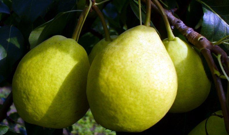 Груша мраморная описание и характеристики сорта опылители и выращивание