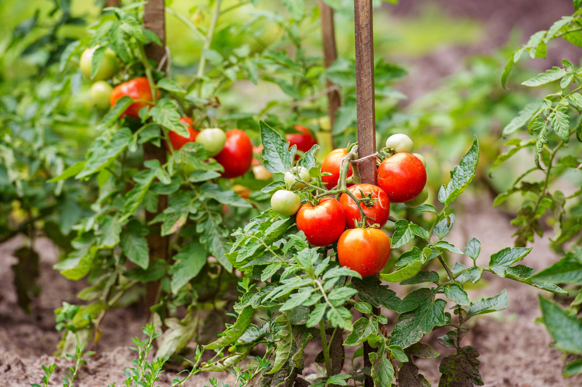 Томаты в теплице: лучшие сорта помидоров 2020, урожайные, семена, описание, отзывы, посадка, выращивание, уход