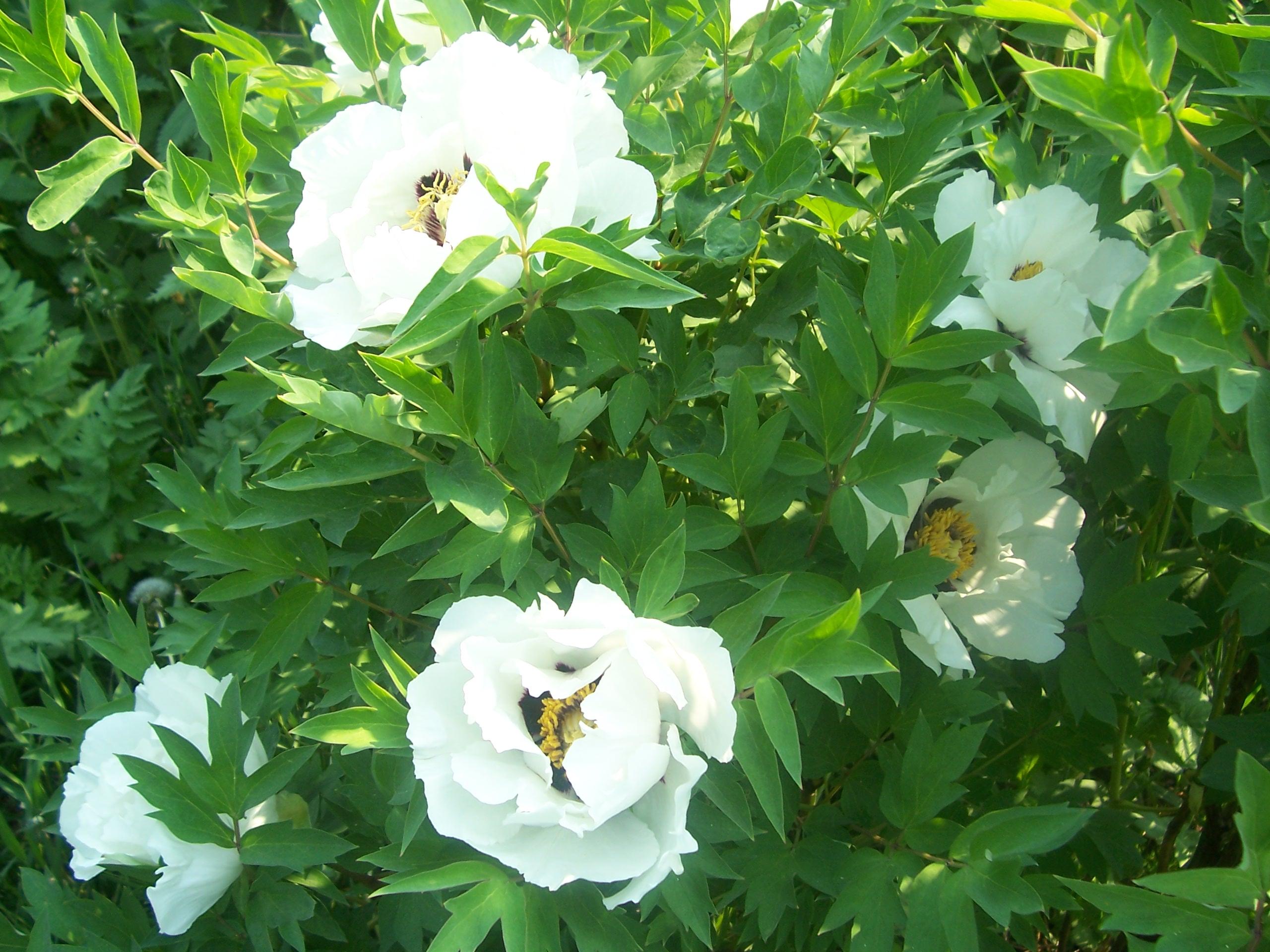 Посадка и уход за древовидными пионами лучшие сорта и ошибки при выращивании