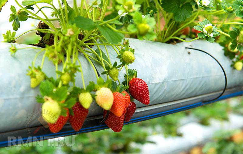 Клубника ремонтантная: выращивание и уход, лучшие сорта, фото