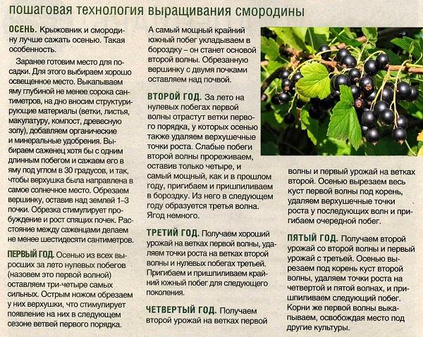 Виноград гарольд: описание сорта, особенности выращивания, отзывы