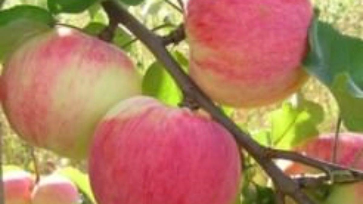 Сорта яблонь для подмосковья, с описанием